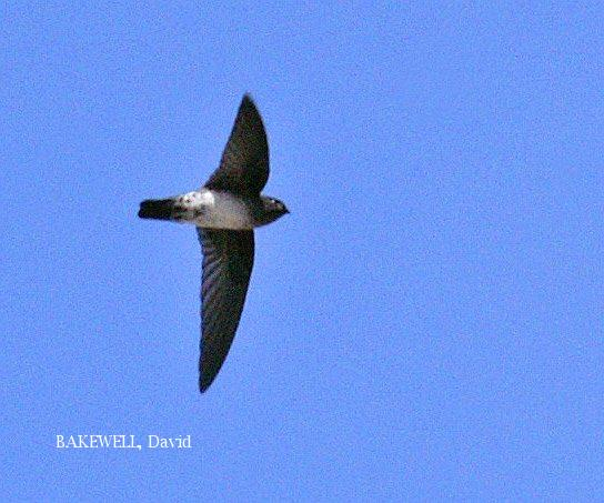 image 3959 of Glossy Swiftlet