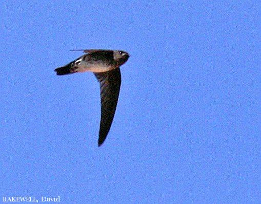 image 3961 of Glossy Swiftlet