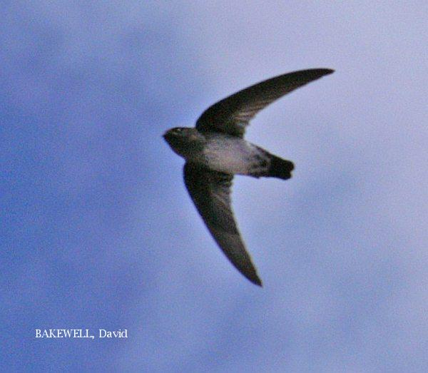 image 3960 of Glossy Swiftlet