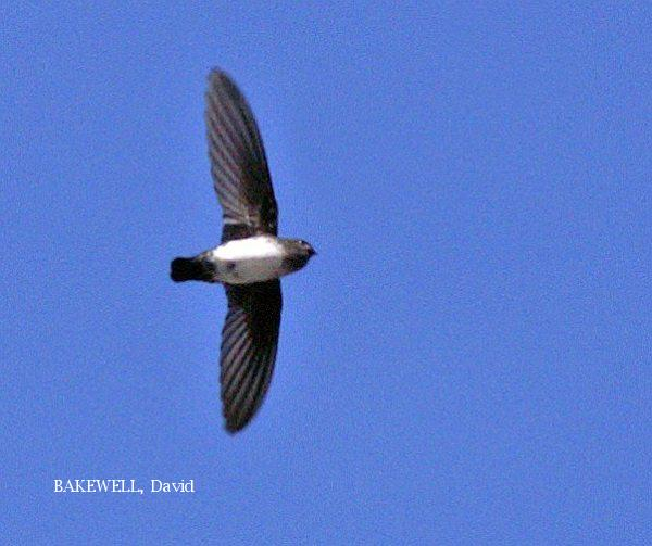 image 3958 of Glossy Swiftlet