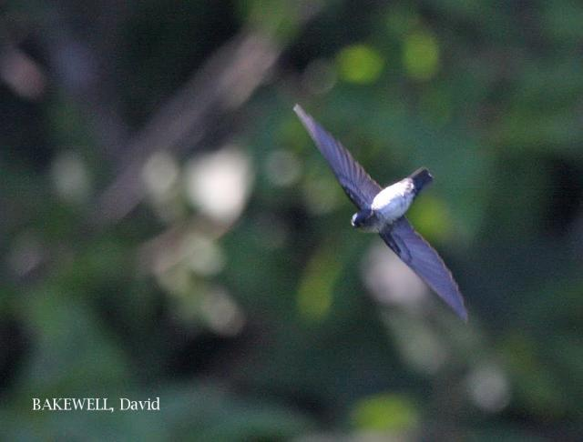 image 4157 of Glossy Swiftlet