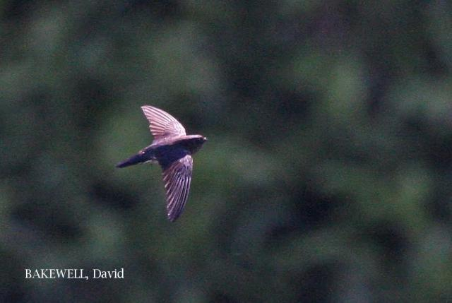 image 4159 of Glossy Swiftlet
