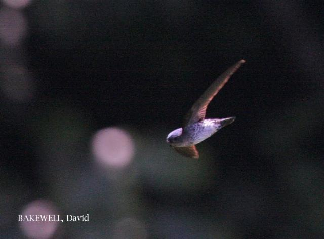 image 4160 of Glossy Swiftlet