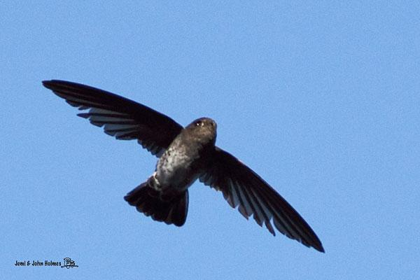 image 2446 of Glossy Swiftlet