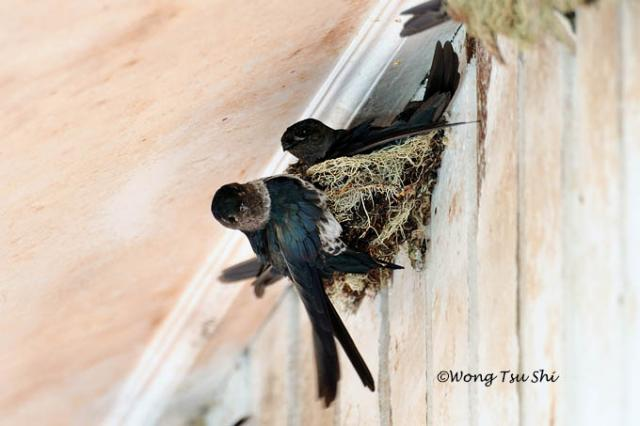 image 756 of Glossy Swiftlet