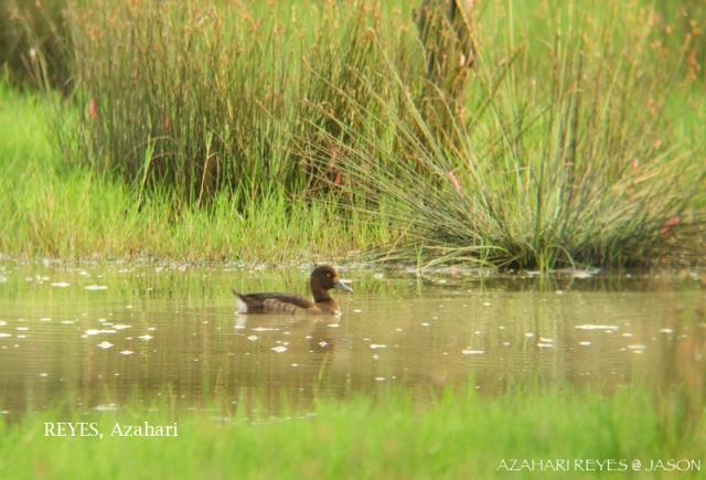 image 3457 of Tufted Duck