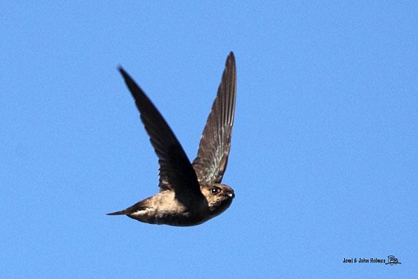 image 2447 of Black-nest Swiftlet