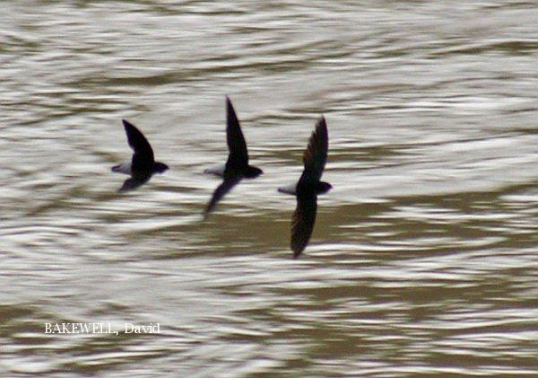 image 3963 of Silver-rumped Spinetailed Swift