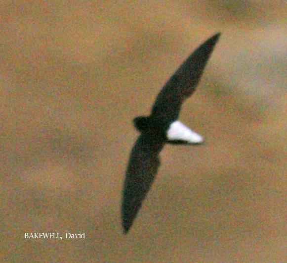 image 3964 of Silver-rumped Spinetailed Swift