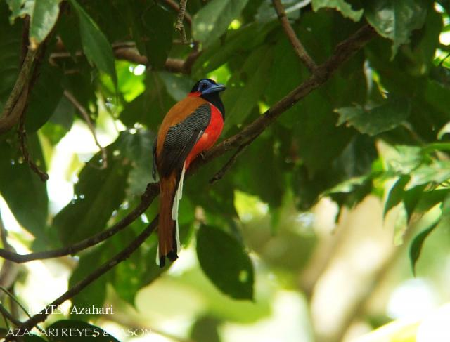 image 3320 of Red-naped Trogon