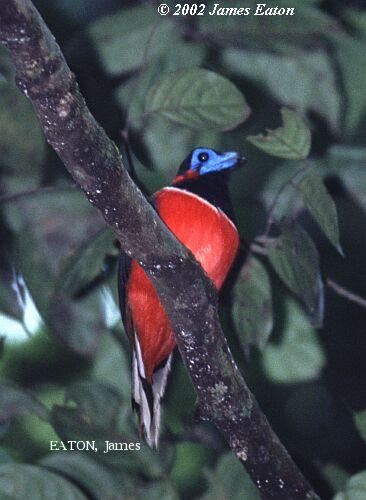 image 2155 of Red-naped Trogon
