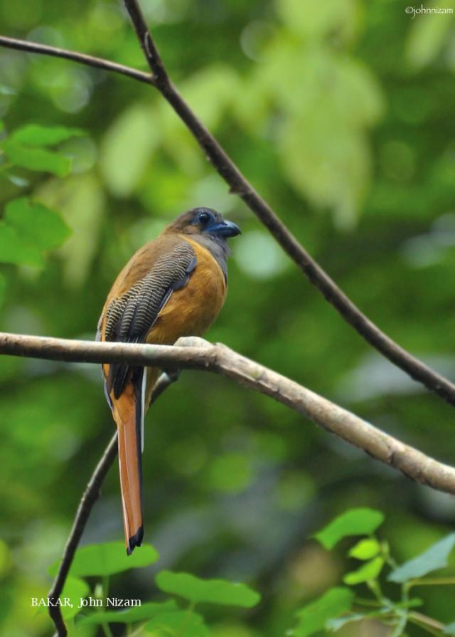 image 5930 of Red-naped Trogon