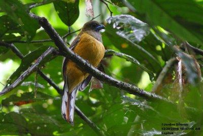 image 3381 of Red-naped Trogon