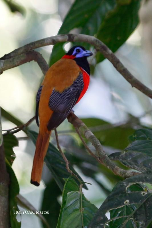image 1901 of Red-naped Trogon