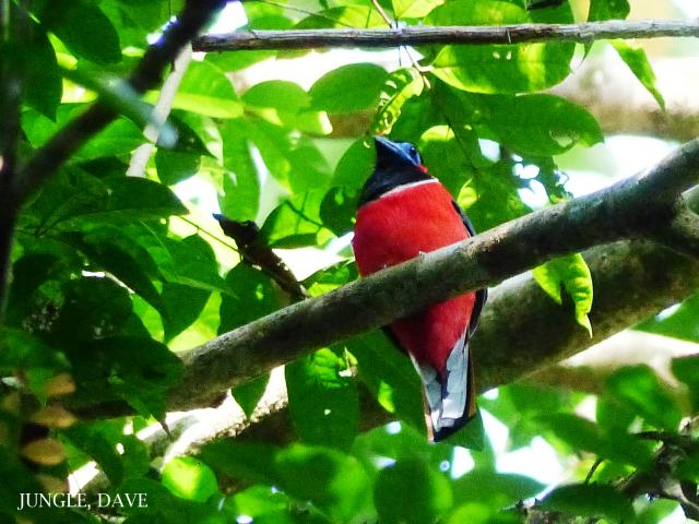 image 7945 of Red-naped Trogon