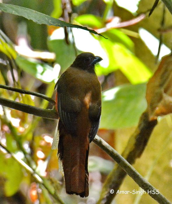 image 7594 of Diard's Trogon