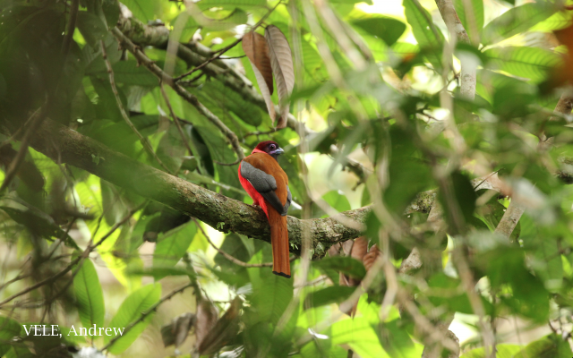 image 8068 of Diard's Trogon