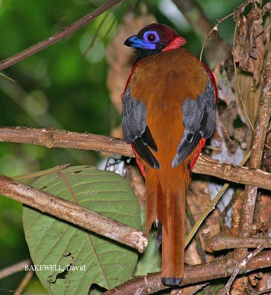 image 3969 of Diard's Trogon