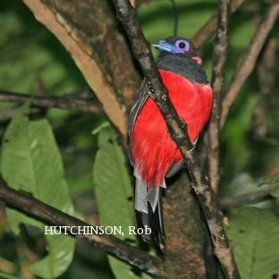 image 2010 of Diard's Trogon