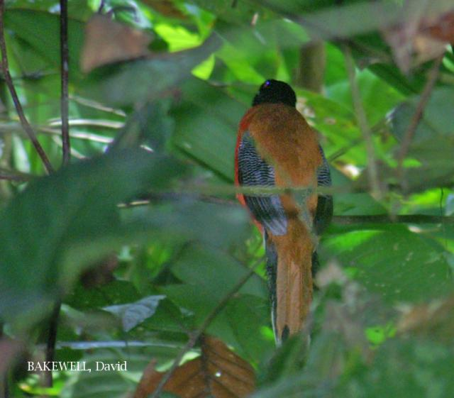 image 4174 of Cinnamon-rumped Trogon