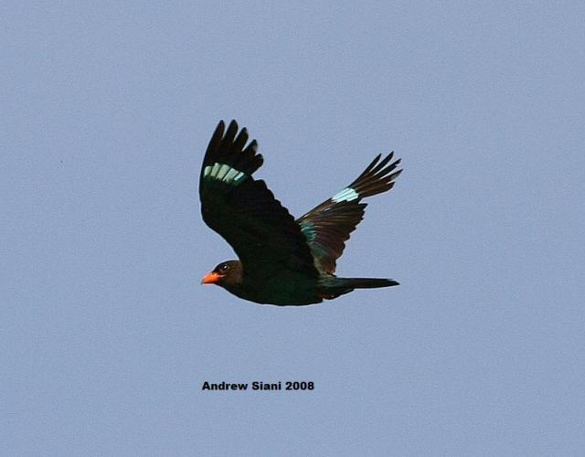 image 3114 of Dollarbird