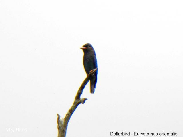 image 5592 of Dollarbird