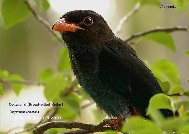 image 5900 of Dollarbird