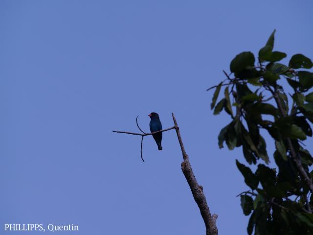 image 1621 of Dollarbird