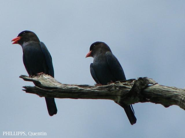 image 1624 of Dollarbird