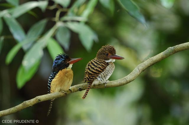 image 1858 of Banded Kingfisher