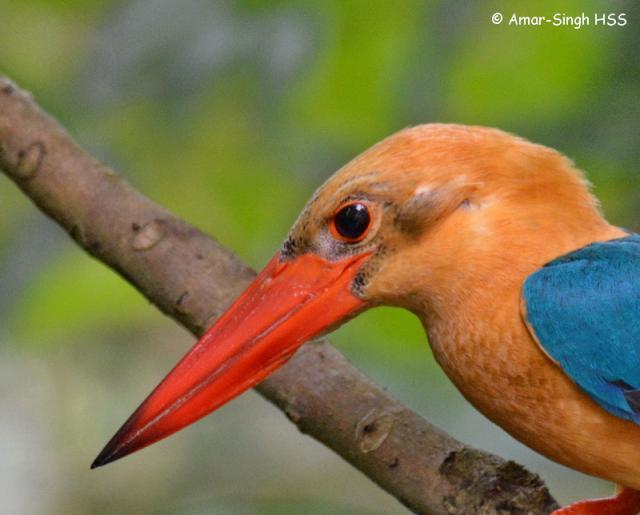 image 7587 of Stork-billed Kingfisher