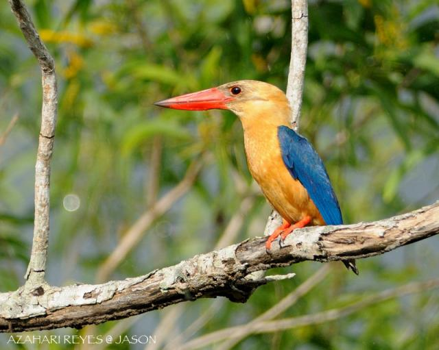 image 4713 of Stork-billed Kingfisher