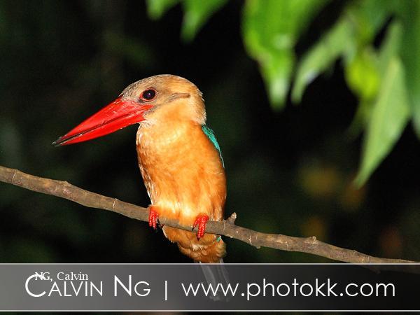 image 5074 of Stork-billed Kingfisher
