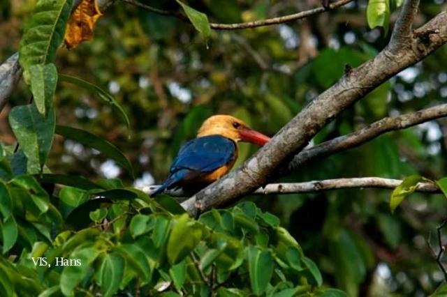 image 5596 of Stork-billed Kingfisher