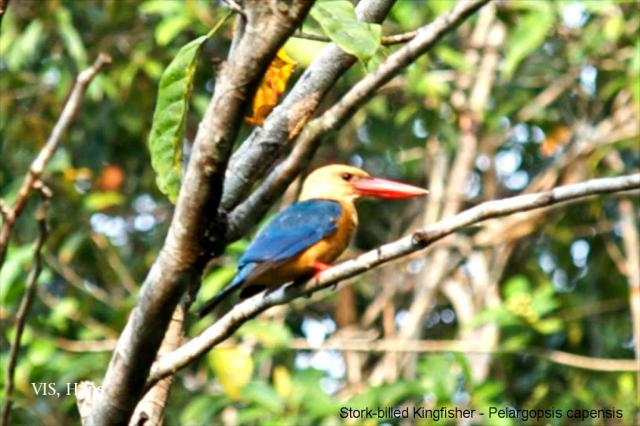 image 5595 of Stork-billed Kingfisher