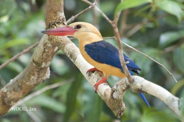 image 5038 of Stork-billed Kingfisher