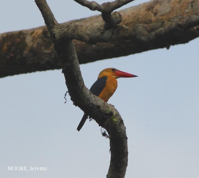 image 4659 of Stork-billed Kingfisher