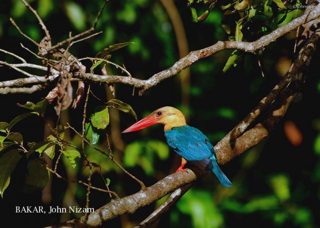 image 5939 of Stork-billed Kingfisher