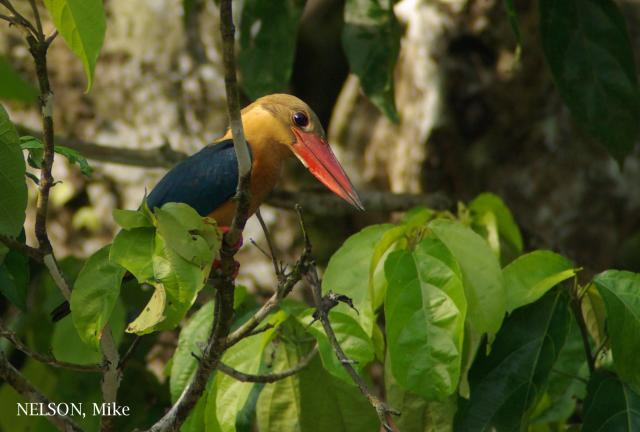 image 6362 of Stork-billed Kingfisher