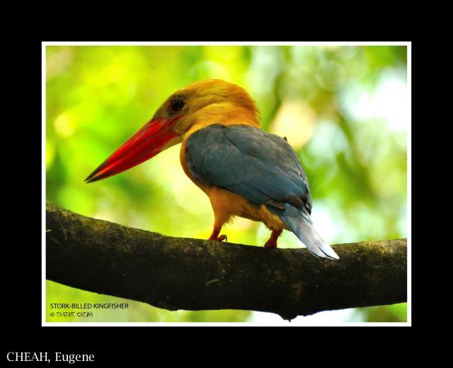 image 6464 of Stork-billed Kingfisher