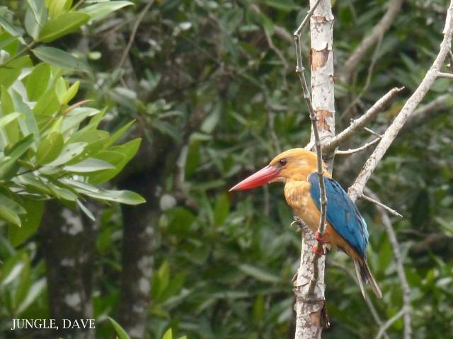 image 7951 of Stork-billed Kingfisher