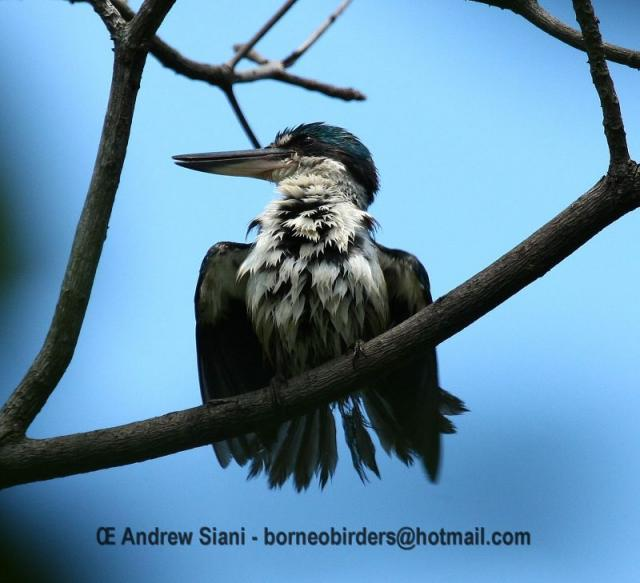 image 3127 of Collared Kingfisher
