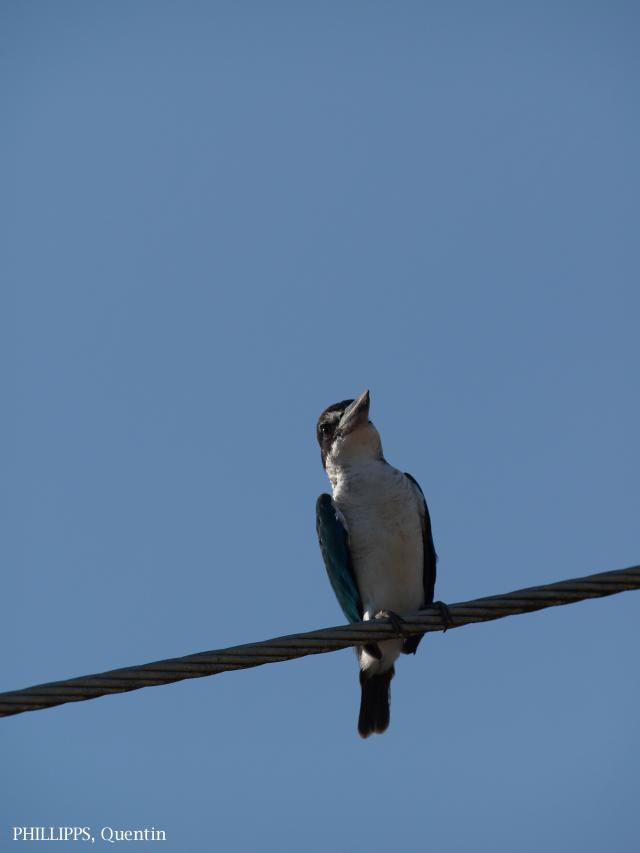 image 1631 of Collared Kingfisher