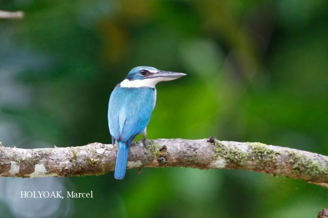 image 1908 of Collared Kingfisher