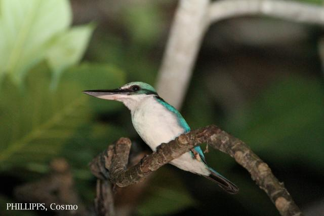 image 5363 of Collared Kingfisher