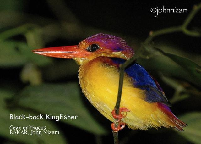 image 5861 of Oriental Dwarf Kingfisher