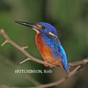 image 2015 of Blue-eared Kingfisher