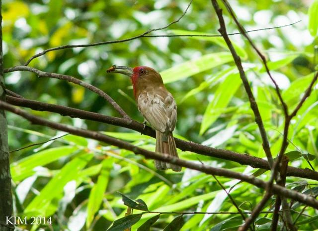 image 7062 of Red-bearded Bee-eater