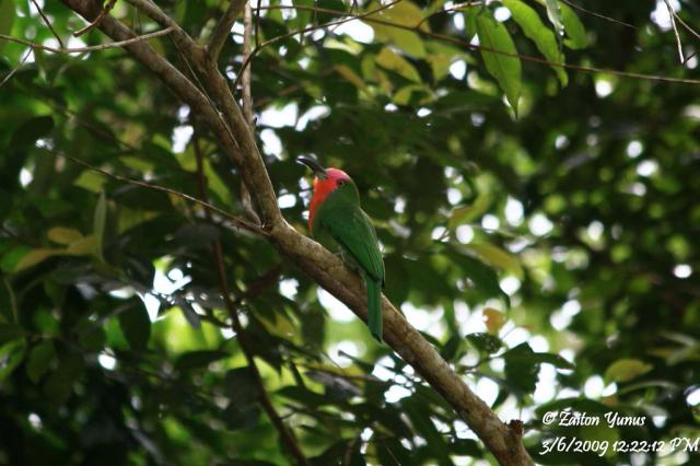 image 3593 of Red-bearded Bee-eater