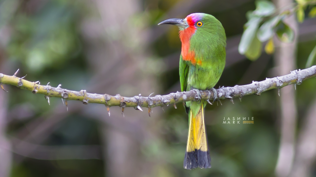 image 6630 of Red-bearded Bee-eater